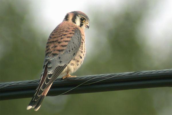 American Kestrel hd | Crécerelle d'Amérique (American Kestrel) Falco sparverius