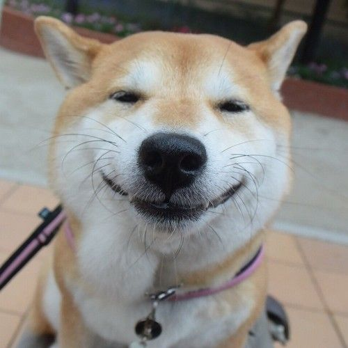 Uni a Shiba Inu that lives In Tokyo. Makes the BEST faces