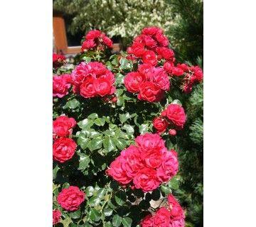 De Motherdays heeft prachtige met donkerrode gevulde, mild geurende bloemen