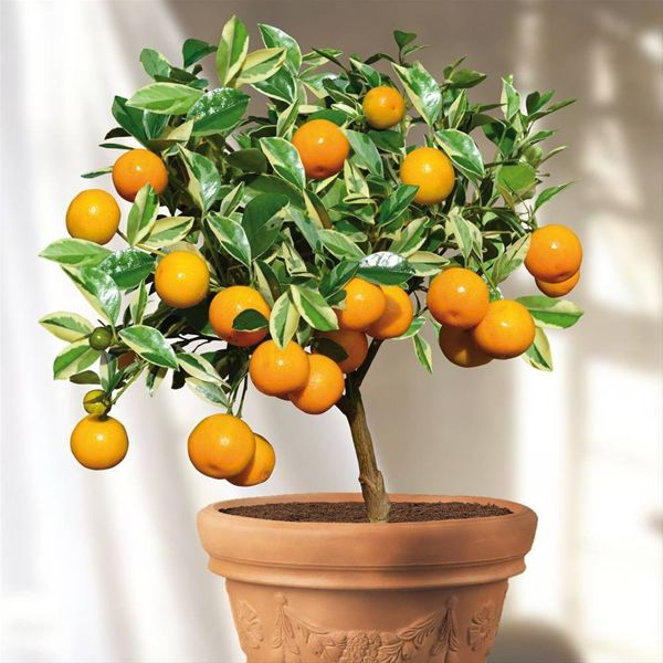 5 Fruits you can grow in containers.. There are many different kinds of fruit out there and while many of them can be grown in the garden not all of us have land for that. Not to  worry, though, there are delicious fruit you can grow in containers and they include citrus and tropical varieties. With proper care they will bear fruit but you have to be willing to make an effort and be patient as many of them may  take years to grow to that state. Oranges, Lemons, Pineapples, Figs, & Mangos