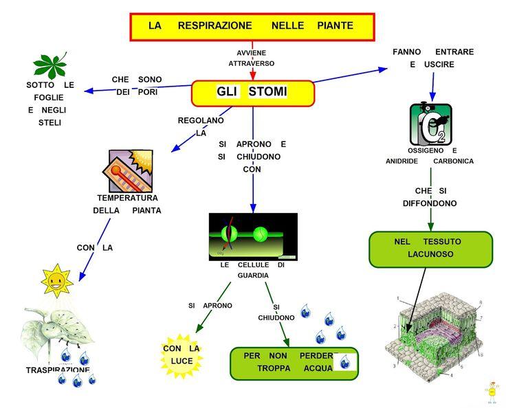 respirazione delle piante - Cerca con Google