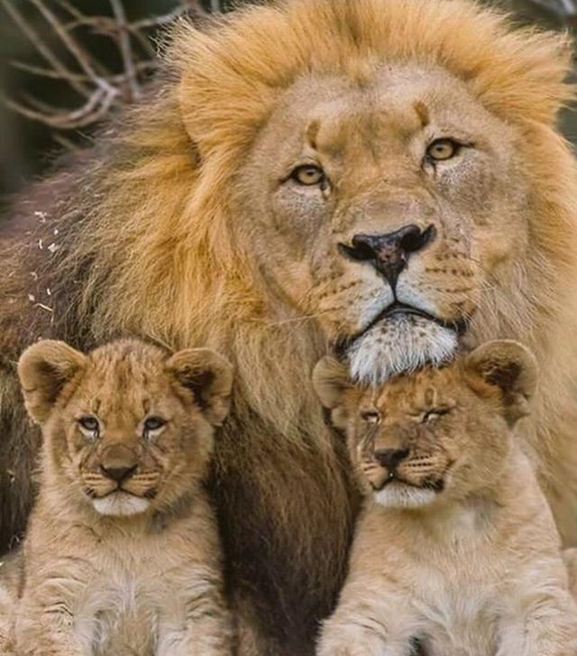 Lionclub Leo Ig Africa Ig Africa Animal Safari Kenya Wildcat
