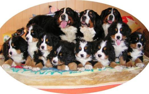 Bernský salašnický pes -  štěně s PP