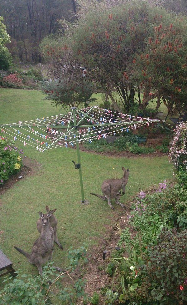 Only in Australia...Roos ready to help you hang out the undies....