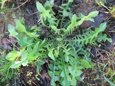 PIKRORADIKOΤαυτότητα: Πολυετή φυτά που φτάνουν το 1 μέτρο. Τα συναντάμε σχεδόν παντού σε χωράφια αφρόντιστα και ακαλλιέργητα. Εποχή: Από το φθινόπωρο με τα πρωτοβρόχια έως το τέλος της άνοιξης. Στην κουζίνα μας: Βραστά με λαδολέμονο ή μαγειρεμένα με κρέας.