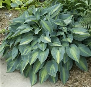 "Hosta 'June' -  Height 15"" Spread 20"", Full-Part Shade, Zones 3-9. A sport of H. 'Halcyon' Pointed, ovate leaves have distinct, beautiful variegation.   Leaves have wide, streaked, blue-green margins and chartreuse centers in spring. Leaf center becomes medium to light gold in summer with enough sun exposure, but will remain chartreuse in full shade. Leaves are of heavy substance and are slug-resistant. Info via PerennialResource  Photo by Walters Gardens, Inc."