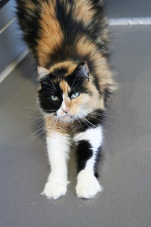 fluffy calico cat - photo #26