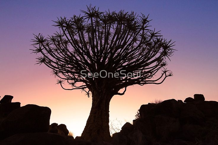 Sunset Quiver Tree, Garas Park, Namibia by SeeOneSoulPhotography.co.za