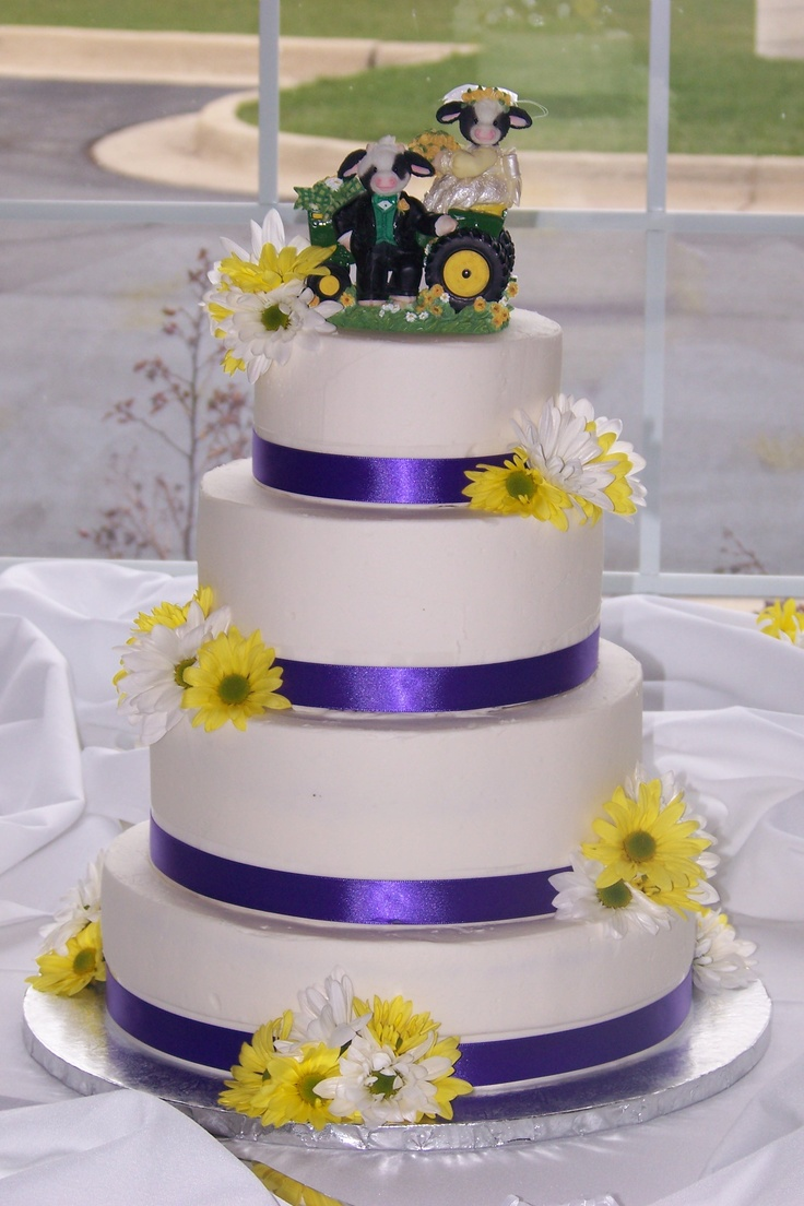 Simple buttercream wedding cake with violet ribbon, fresh yellow and white daisies and cow topper complete with tractor!