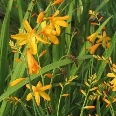 Des grappes de fleurs jaunes LeCrocosmia 'George Davidson' possède une étonnante floraison jaune-orangée. Alors que la plupart des Crocosmias sont rouges ou orangés, la variété 'George Davidson' fleurit de Juin à Octobre. On utilise les belles fleurs en bouquets mais aussi les feuilles que l'on peut récolter selon les besoins. LeCrocosmia 'George Davidson' est une variété précoce à floraison abondante qui donne toute sa mesure en plein soleil.
