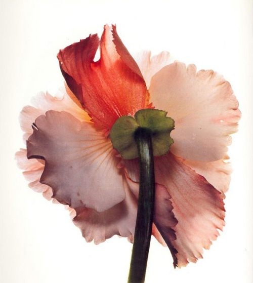 Tuberous Begonia Photographed By Irving Pennvia The Absolute