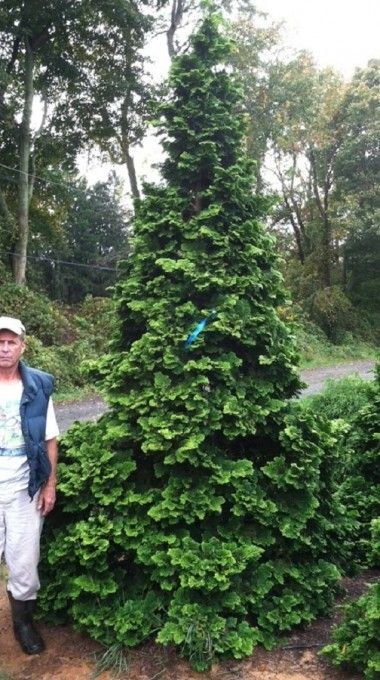 Chamaecyparis Obtusa Wells Special A Strong Growing