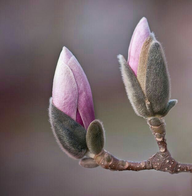 Pin By Jody D On Spring In 2020 Magnolia Flower Planting Flowers Flower Painting