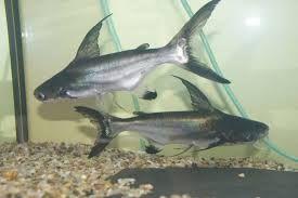 Výsledek obrázku pro akvarijní ryby sladkovodní