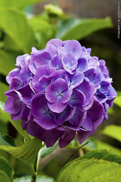 Purple Hortensia hydrangea