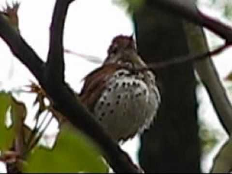 Wood Thrush. MY FAVORITE BIRD SONG. Before we knew the proper name, we called this the TIN WHISTLE BIRD. I love to listen to these at dawn, and in the late afternoon. The photo is dark but follow the link to watch the video.