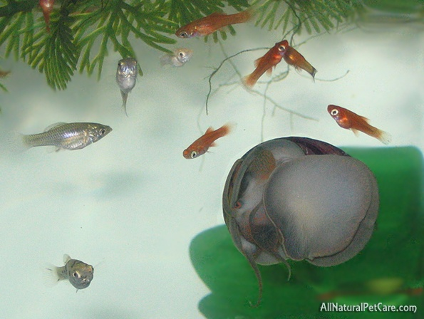 Some of the baby livebearer fish domestic swordtails for Molly fish babies