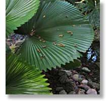 fan palm http://www.fairchildgarden.org/
