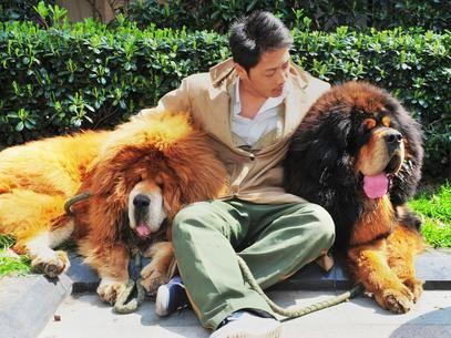 Um filhote de um cachorro da raça mastiff tibetano poder ter se tornado o cão com maior valor em uma venda  Foto: AFP