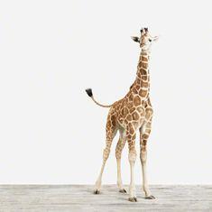Gorgeous baby giraffe!: Babies, Baby Giraffes, Giraffe Print, Baby Animal, Favorite Animal, Animal Prints, Art Giraffes, Kid