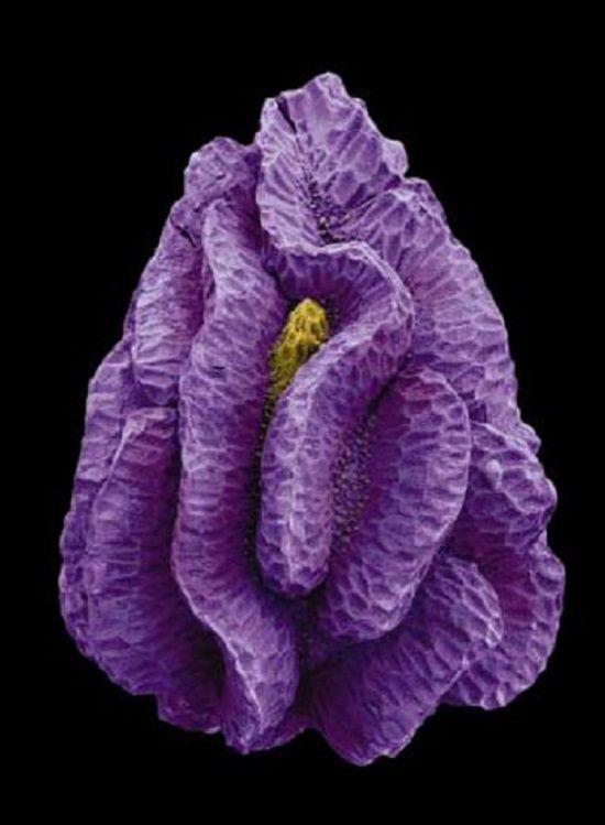 Ivy leafed toadflax seed, image by Rob Kesseler.