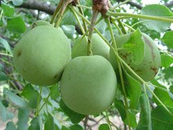 Scelerocarya Birrea    fruit     Marula      Maroela        S Ano 360