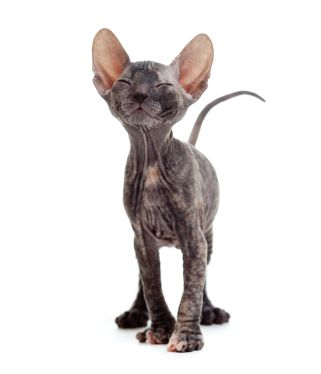 I don't care what anyone says they are EFFING adorable!! The Donskoy breed is a hairless Russian breed, not related to the more common Sphynx. While the Sphynx's hairlessness is a recessive gene, it's a dominant trait in the Donskoy. This Donskoy kitten seems satisfied.