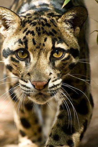 cheetah-chaser: Clouded Leopard
