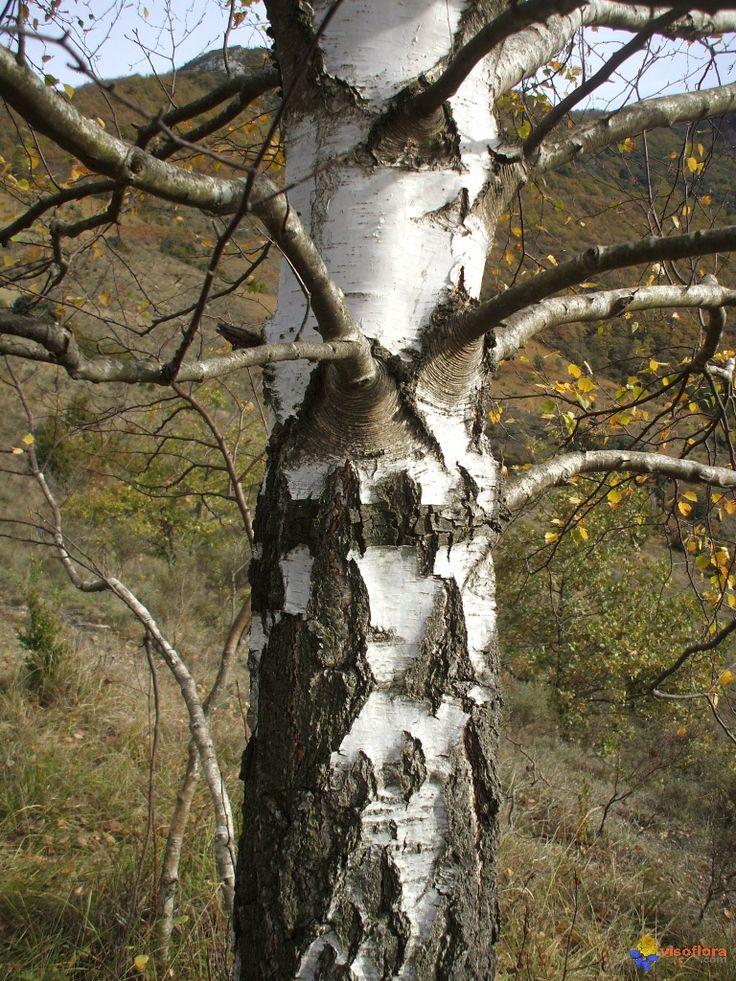 betula pubescens - Google-haku