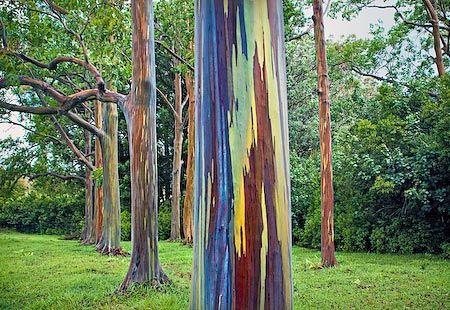 Mature Mindanano Gum tree (aka Rainbow tree)