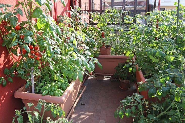 Les 25 meilleures id es de la cat gorie planter radis sur - Faire pousser tomate cerise ...