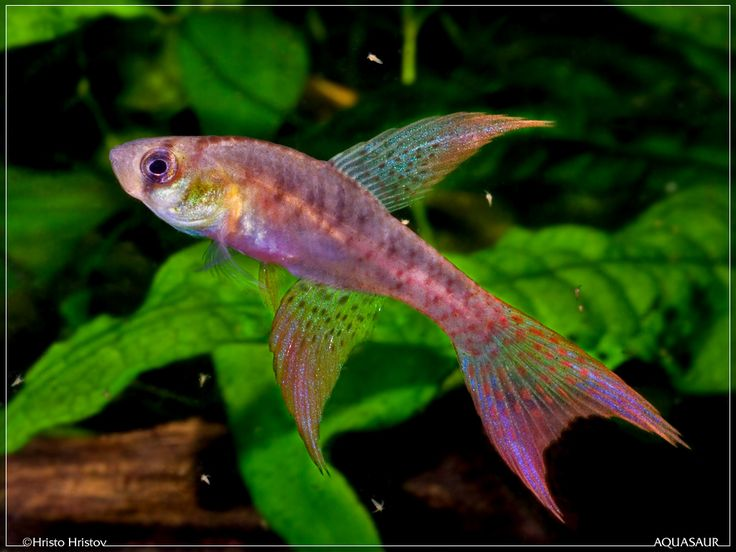 453 best adorable killifish small freshwater jewels images for Peaceful freshwater fish