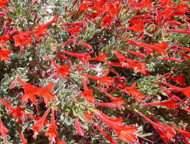 California Fuchsia Easy To Grow Complicated In Name California Native Plants California Plants Low Water Gardening