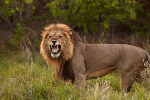 Lion in Kafue... enjoy a Zambia Safari in this vast and remote park.
