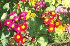 Primrose.  Shade loving flower!