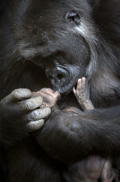 A second chance for Chelewa.  Gorilla cradles her newborn a year after accidentally crushing her first baby to death.