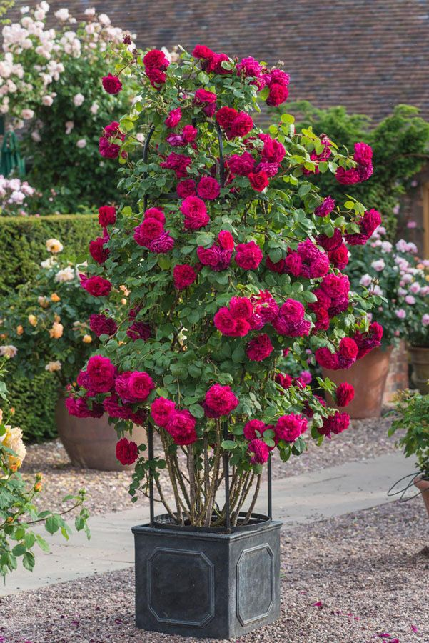 Roses are seldom better displayed than when looking down at us from above, so Climbing Roses are the amongst the most valuable of all garden roses. They are perfectly suited to growing over arches and on pillars, trellises, pergolas, pillars and obelisks. Nearly all climbers have the advantage of repeat-flowering, providing colour and interest all …
