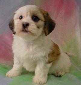 Bichon Shih Tzu Mix Puppies Goldenacresdogs Com Shih Tzu X Bichon