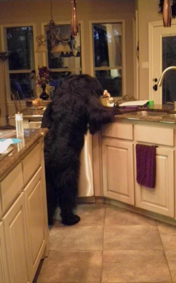 Newfie looking for something good to eat....This happens all the time at my house