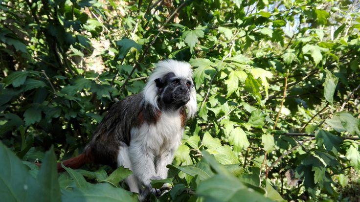 Monkey from Jihlava Zoo - Czech republic