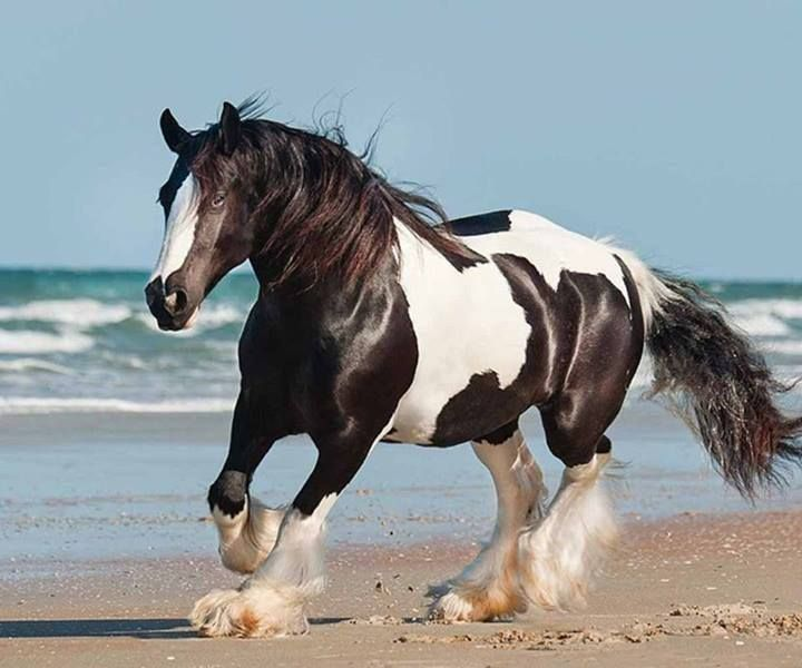 185 best horses on beach images on pinterest aqua gripe water and beautiful horses gypsy vanner irish cob running on the beach publicscrutiny Gallery