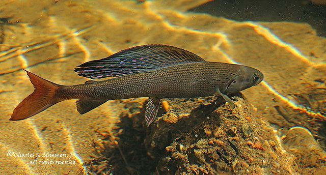 17 best images about arctic grayling on pinterest canada for Alaska freshwater fish