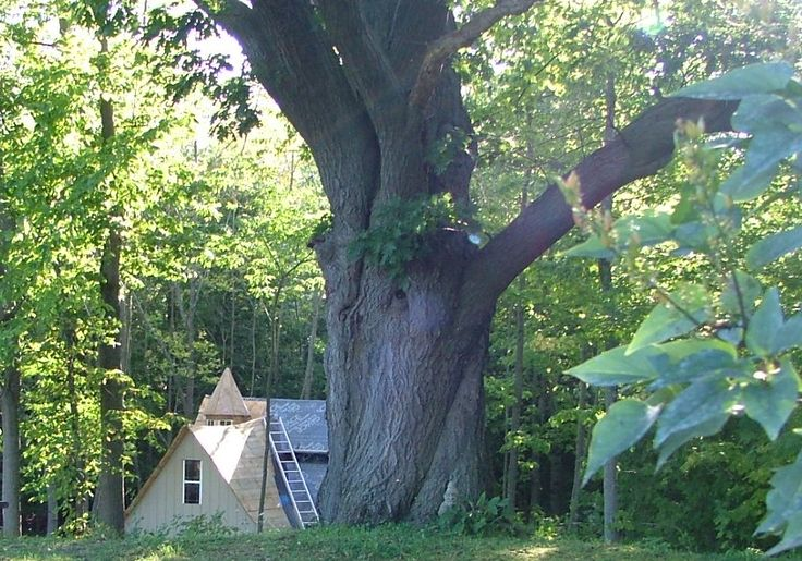 The Giant Oak with Acorn Cottage below