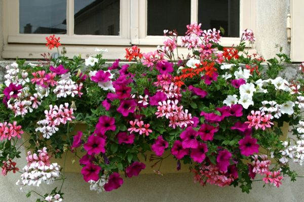 jardiniere verveine et petunias