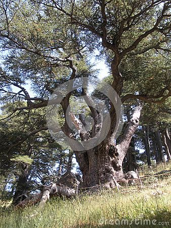 An immense Lebanon cedar in Lebanon's renowned Forest of the Cedars of God.