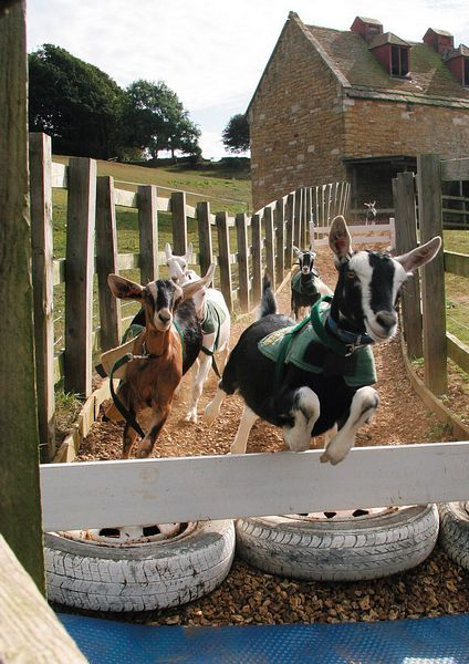 Goat Racing at Abbotsbury Childrens Farm:   Children can cuddle the guinea pigs, ride the ponies, race the tractors, play in the large undercover play area and bottle feed the baby goats. The baby goats also race around a track twice a day, after the race the children are invited to take a goat for a warm down walk on a lead.  Distance from Shaftesbury to Abbotsbury is 39 miles.