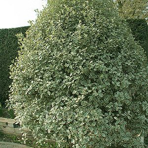 pittisporum - Google Search