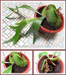 Propagating a Staghorn Fern (Platycerium bifurcatum) in a hanging pot with light potting soil: June 20 2012