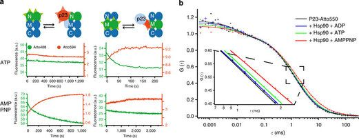 p23 rearranges during ATP turnover of Hsp90.