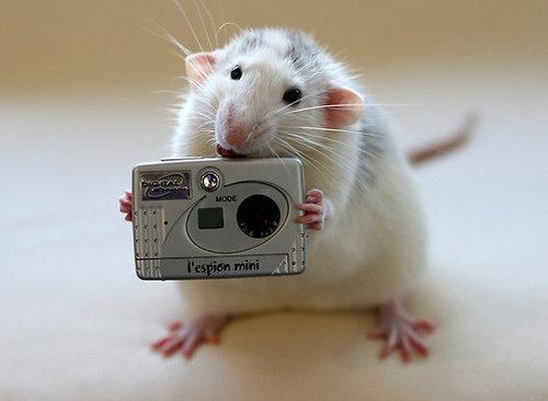 Rat with a tiny camera